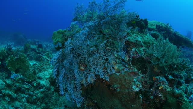 紫の海ファン水中のサンゴ - ゴーゴニアンコーラル点の映像素材/bロール