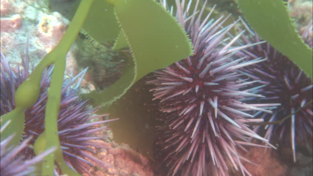 purple sea urchin (strongylocentrotus purpuratus) feeds on kelp, california, usa - ricci di mare video stock e b–roll