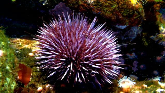 パープルのウニ strongylocentrotus purpuratus - ウニ点の映像素材/bロール