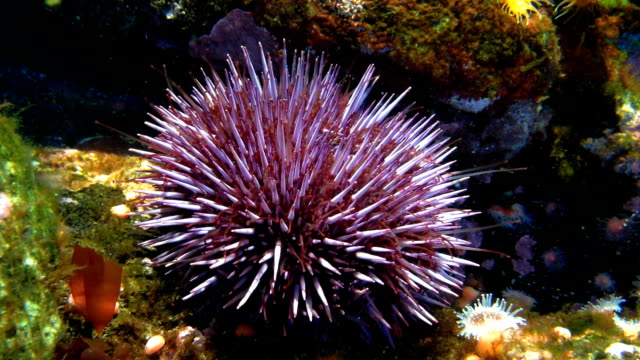 purple sea urchin  strongylocentrotus purpuratus - sea urchin stock videos & royalty-free footage