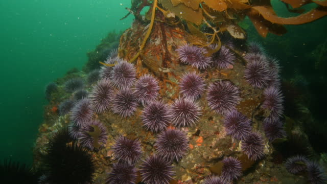 Purple sea urchins crawl on the base of kelp swaying in the ocean. Available in HD.