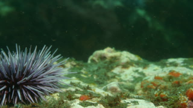 purple sea urchins crawl on the sea bed. available in hd. - ricci di mare video stock e b–roll