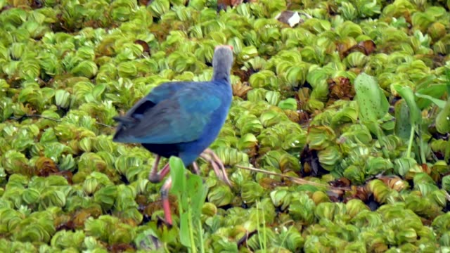 purple swamphen feeding at a wetland - isola video stock e b–roll