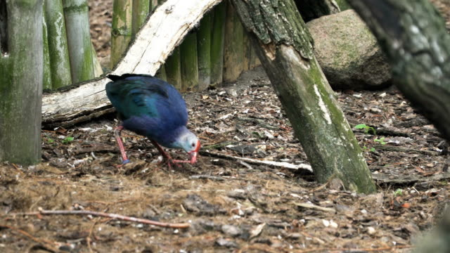 purple swamphen finding food on wet dirty area - imperfection stock videos & royalty-free footage