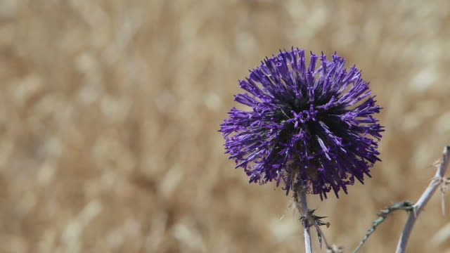 purple thistle flower with ants - thistle stock videos & royalty-free footage