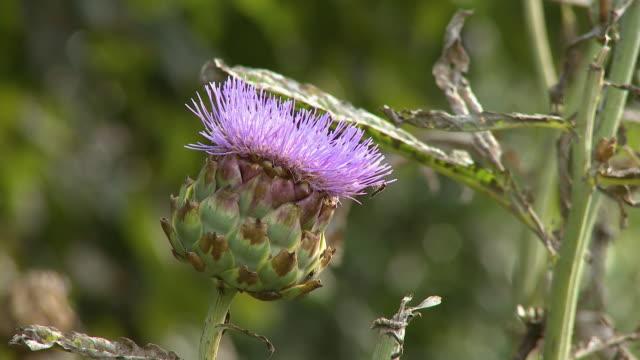 purple thistle flowerhead - thistle stock videos & royalty-free footage