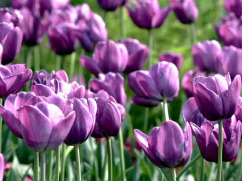 pal: purple tulips flutter in the wind (video) - lily family stock videos & royalty-free footage