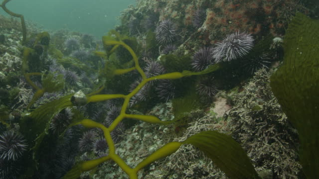 purple urchins and giant kelp - ricci di mare video stock e b–roll