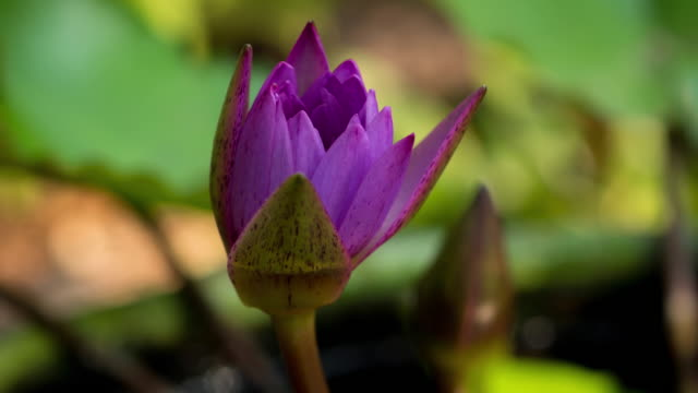 Purple water lily blooming time lspse.