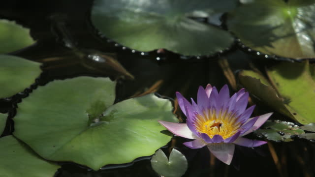 cu ld purple water lily in pond - lily stock videos & royalty-free footage