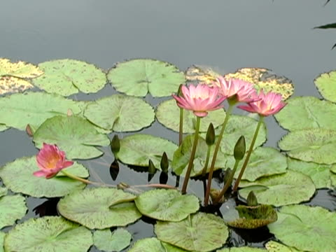 purple waterlilly with dragonfly - lily stock videos and b-roll footage