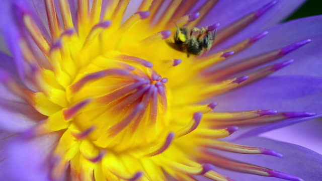 purple waterlily and bee - lotus water lily stock videos and b-roll footage