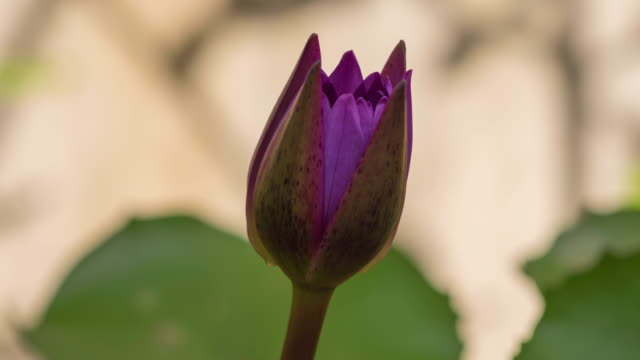 Purple waterlily blooming time lapse.