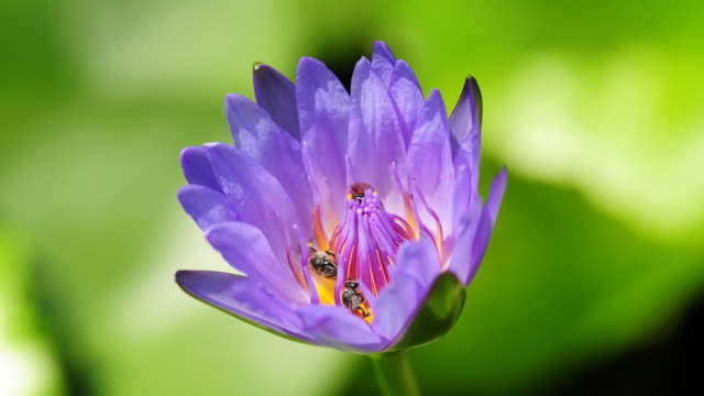 purple waterlily blooming timelapse - lily stock videos & royalty-free footage