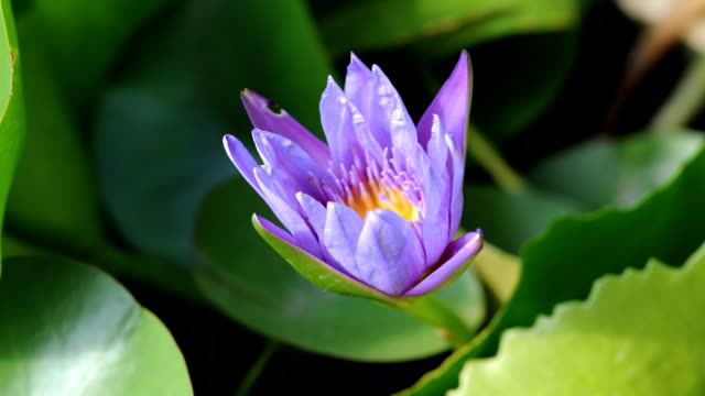 purple waterlily blooming timelapse - single flower stock videos & royalty-free footage
