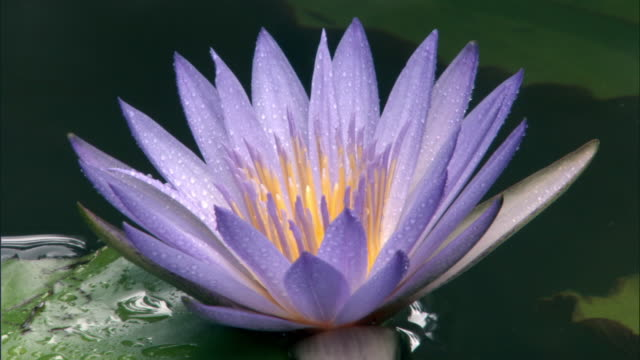 purple waterlily flower, madagascar - flower head stock videos & royalty-free footage