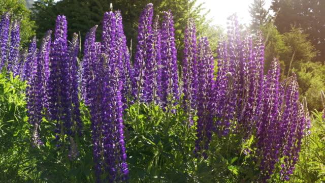 purple wild flowers, patagonia argentina - back lit flower stock videos & royalty-free footage