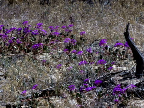 purple wildflowers sway in a high desert breeze. - wildflower stock videos and b-roll footage