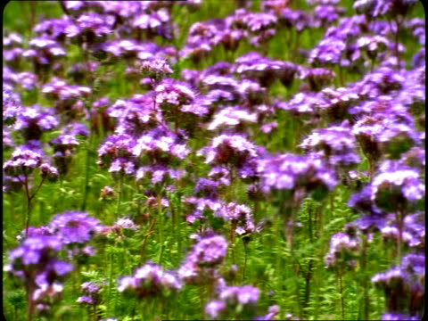Purple wildflowers sway in the breeze.