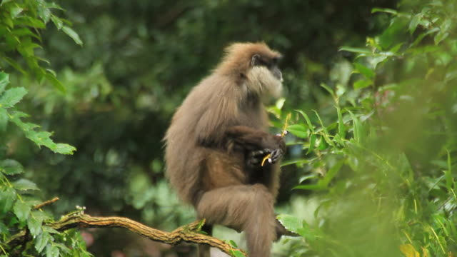 purple-faced langur - south america stock videos & royalty-free footage