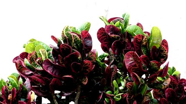 紫/緑の植物が風に吹かれて - 花粉点の映像素材/bロール