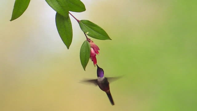 vídeos de stock, filmes e b-roll de purple-throated woodstar and booted racket-tail hummingbird, andes, ecuador - hummingbird