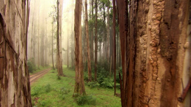 "push forward past tree trunks in misty woodland, australia - ""bbc universal"" stock videos & royalty-free footage"