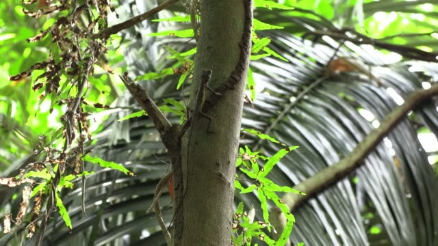 Push up in the jungle - Okinawa tree lizard at rest, deep breathing