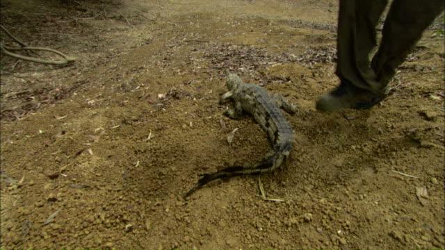 pov push-in - a man releases a young freshwater crocodile which runs into a billabong / darwin, australia - クロコダイル点の映像素材/bロール