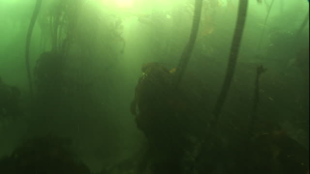 POV push-in - The sun shines in the ocean among swaying kelp.