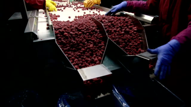 Putting Raspberries Into Boxes And Sending Them To the Market