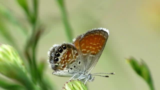 vidéos et rushes de poisson bleu nacré - des papillons dans le ventre