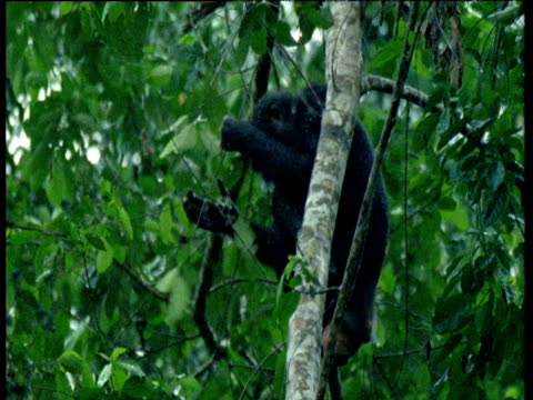Pygmy Chimpanzee in tree breaks branch, covers his head then rest head on arms, Africa