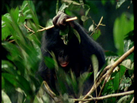 Pygmy Chimpanzee puts branches on his head to protect from the rain, Africa