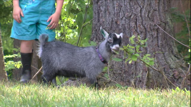 a pygmy goat kid munches on leaves in its yard. - goat stock videos & royalty-free footage