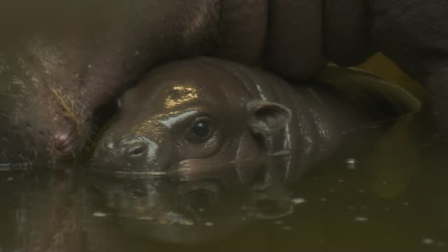 pygmy hippo baby born at bristol zoo; england: bristol: bristol zoo: ext shots of baby pygmy hippo in enclosure with it's mother lynsey bugg... - young animal stock-videos und b-roll-filmmaterial