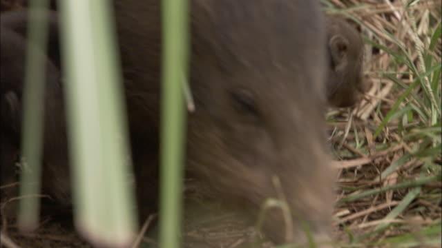 vídeos y material grabado en eventos de stock de pygmy hog and piglets, assam, india - grupo pequeño de animales