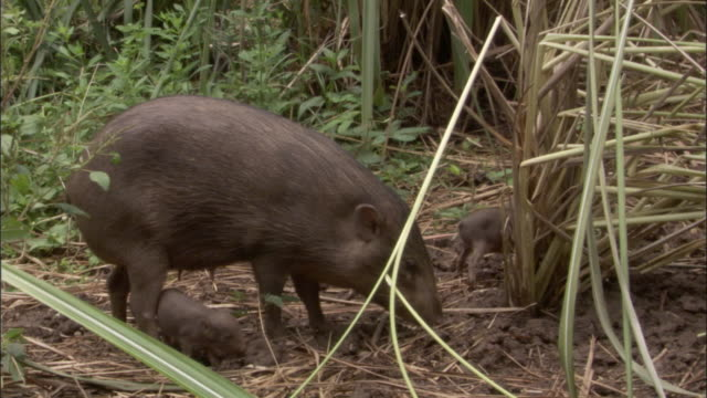 pygmy hog and piglets forage amongst grasses, assam, india - small group of animals stock videos & royalty-free footage
