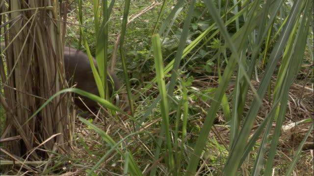 vídeos y material grabado en eventos de stock de pygmy hog and piglets forage amongst grasses, assam, india - grupo pequeño de animales