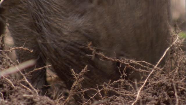pygmy hog forages amongst grasses, assam, india - futter suchen stock-videos und b-roll-filmmaterial
