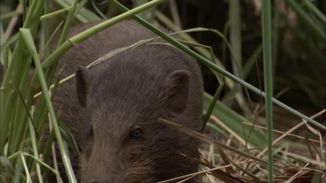 Pygmy hog forages amongst grasses, Assam, India