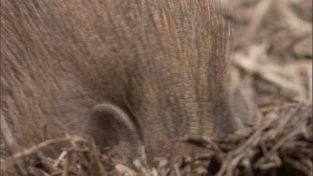 pygmy hog forages, assam, india - futter suchen stock-videos und b-roll-filmmaterial