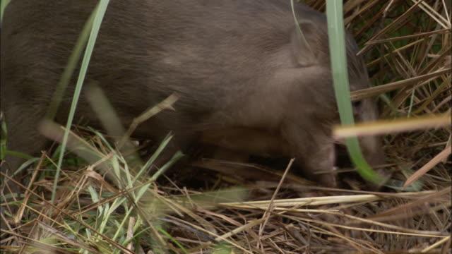 Pygmy hog gathers nesting material, Assam, India