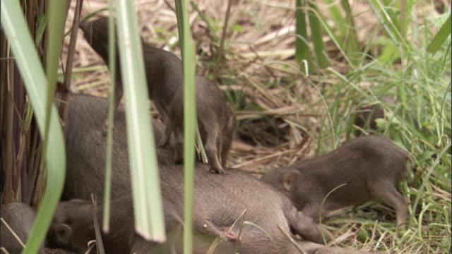 vídeos y material grabado en eventos de stock de pygmy hog piglets clamber onto parent, assam, india - grupo mediano de animales