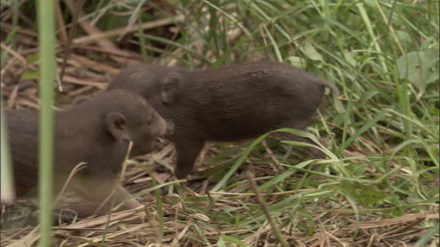 pygmy hog piglets play fight amongst grasses, assam, india - pig stock videos and b-roll footage