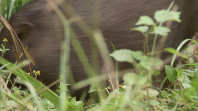 Pygmy hog piglets play fight amongst grasses, Assam, India