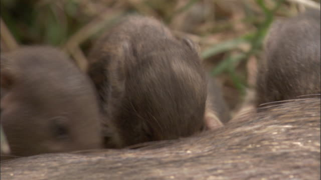 vídeos y material grabado en eventos de stock de pygmy hog piglets suckle and clamber onto parent, assam, india - grupo pequeño de animales