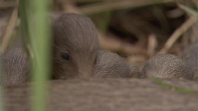 vídeos y material grabado en eventos de stock de pygmy hog piglets suckle from parent, assam, india - grupo pequeño de animales