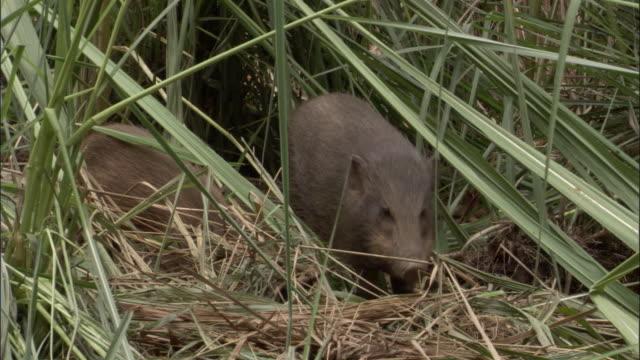 Pygmy hogs forage amongst grasses, Assam, India
