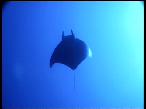 pygmy manta (devil) ray, overhead, moving away from camera, cu & ms & wa, sipadan - conceptual symbol stock videos and b-roll footage